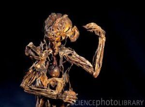 Z9100232-Monkey_anatomy,_Fragonard_Museum-SPL